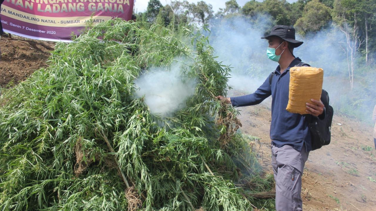 Bareskrim Polri Musnahkan 5 Hektare Ladang Ganja di Pegunungan Torsipira Manuk, Sumut