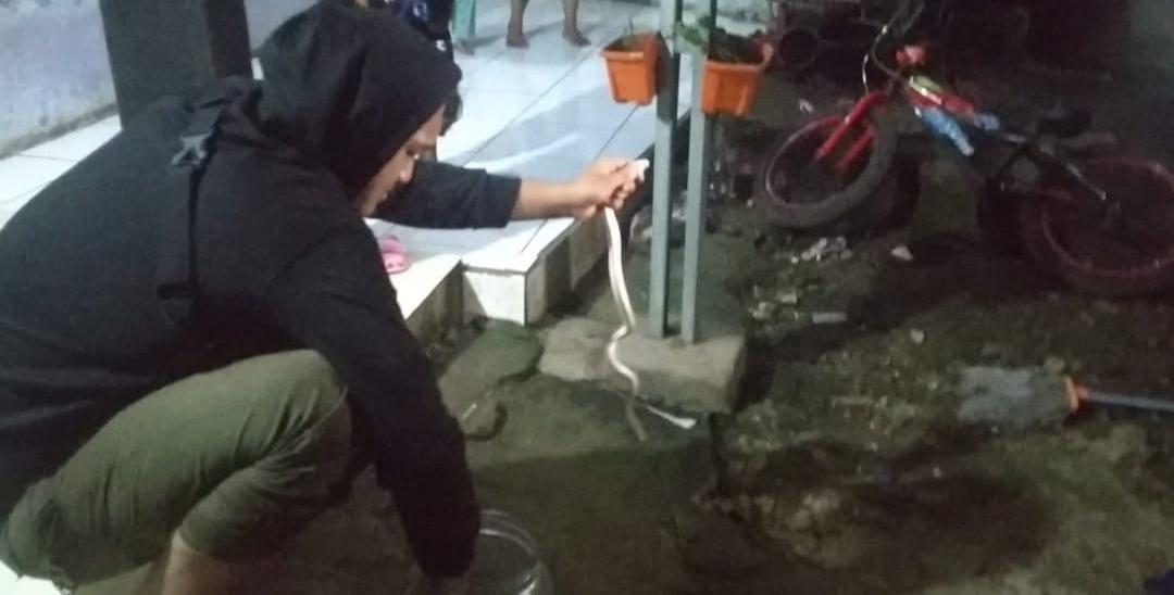 Pawang Muda Tangkap Ular Kobra Putih Masuk Rumah Warga RW 004 Buaran Timur, Serpong Utara